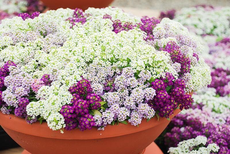bigstock-Alyssum-Flowers-Alyssum-In-Sw-346336891