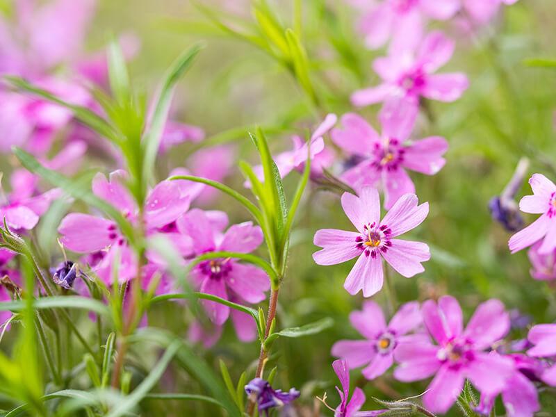 bigstock-Blooming-Phlox-Subulata-Flower-399708920