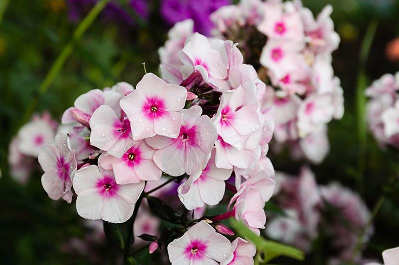 bigstock-Garden-Phlox-Phlox-Paniculata-380411350