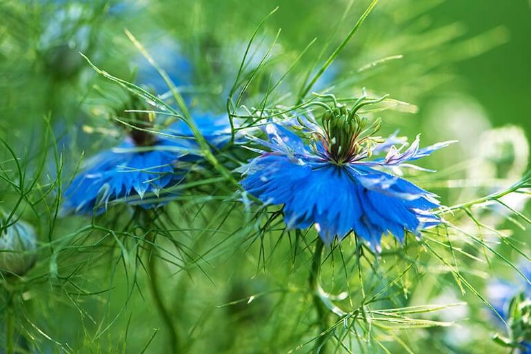 bigstock-Macro-Shot-Two-Garden-Blue-Flo-344013478
