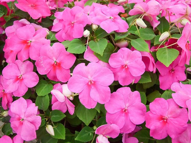 bigstock-Pink-Impatiens-Scientific-Nam-364572985