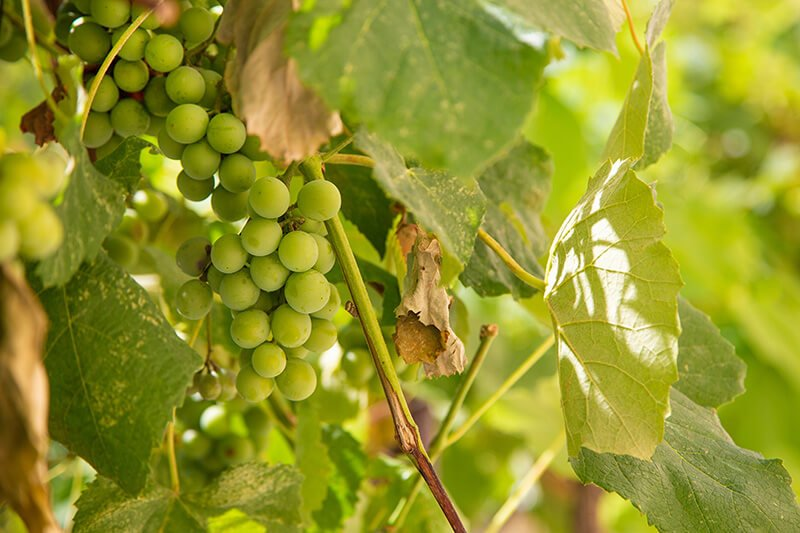 bigstock-Fruits-Of-Green-Grapes-On-The--385654865