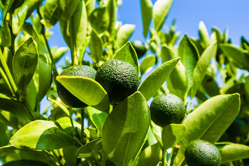 bigstock-Lime-On-A-Branch-Against-The-B-321441916