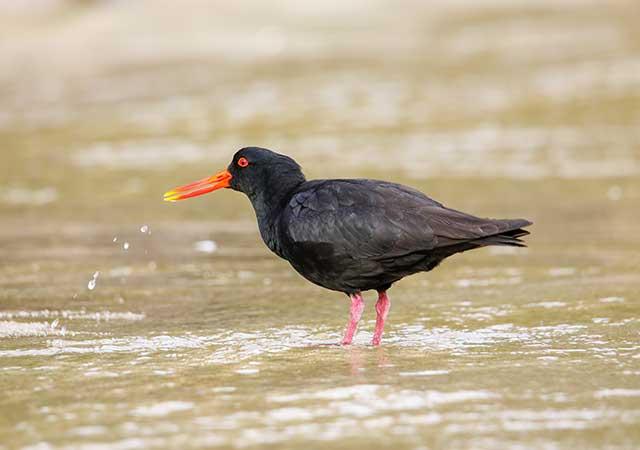 Ahuriri Estuary Birdlife