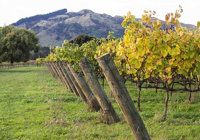 Gisborne Vineyard
