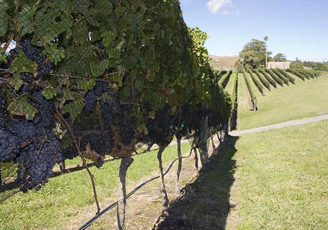 Havelock-North-Vineyard