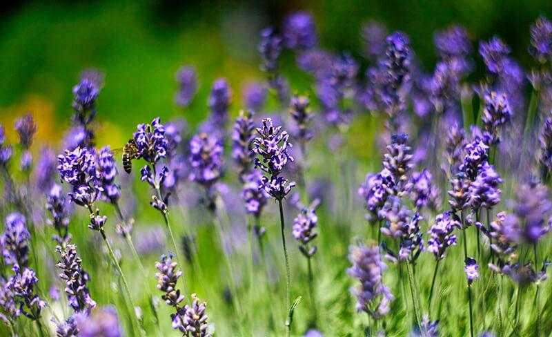 bigstock-Lavender-Flowers-Field-Growin-396457574_800